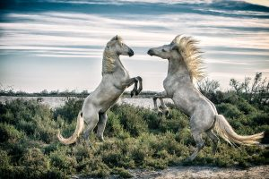 White Camargue horse stallions fighting by the water
