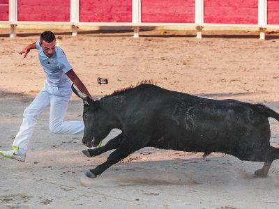 Camargue Race Black Raseteur Horn Bull Cattle