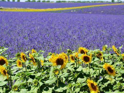 Summer Lavender Field Sunflower Provence Valensole